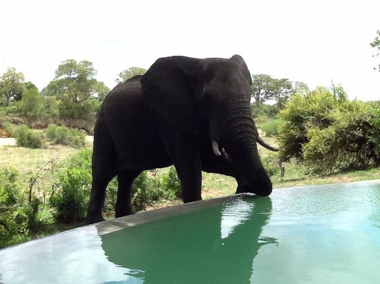 Ngala Private Game Reserve, Sudáfrica: Elephant at the pool!