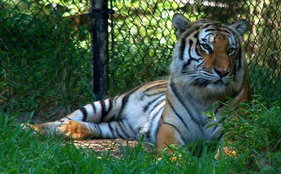 Greensboro, North Carolina: Bengal tigers