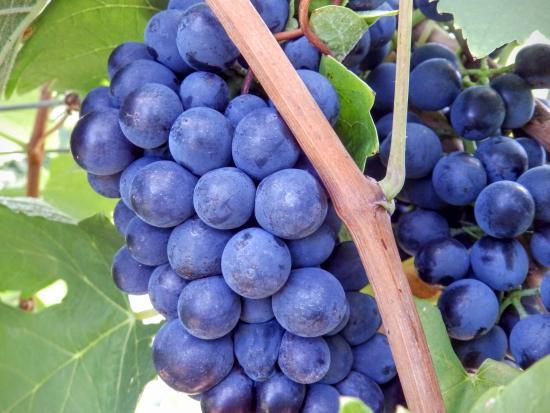 Pokolbin, Australia: Grapes almost ready for Harvest from Tintilla vineyard