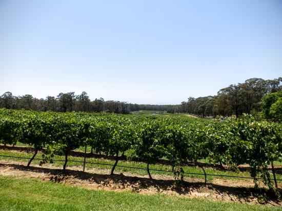 Pokolbin, Australia: View of the grapes