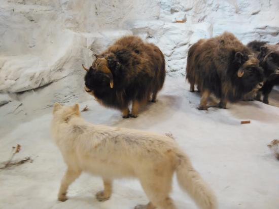 Hamburg, PA: Arctic Wolves on the Hunt