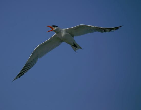 Hoquiam, WA: Terns are one of the seasonal visitors to the refuge area