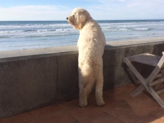 Del Mar, CA: Lucy watching the waves waiting for us to come home from our spectacular dinner at Bully's .