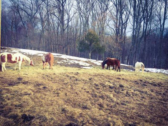 Marriottsville, MD: 80 horses, all rescues.