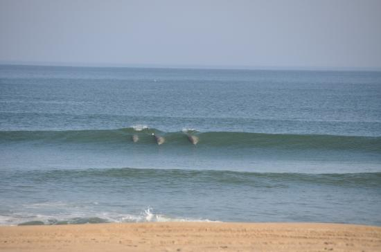 Three Dolphins Riding The Waves Picture Of Sandbridge