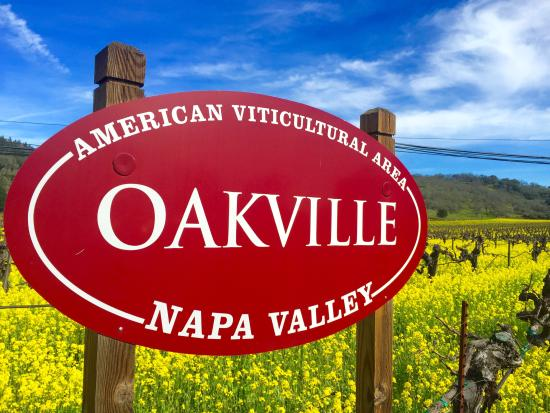 Healdsburg, CA: Napa Mustard in bloom!