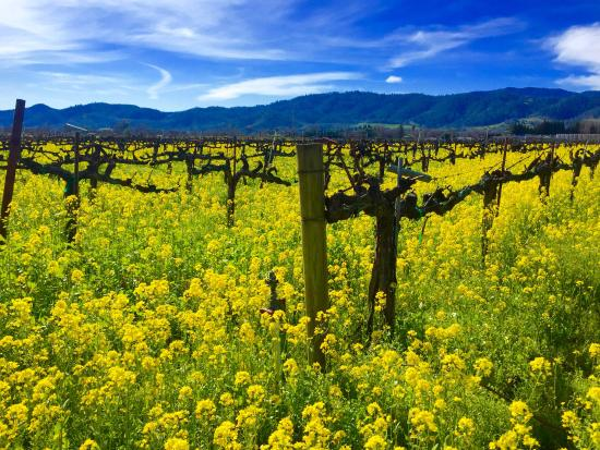 Healdsburg, CA: Mustard season in the wine country