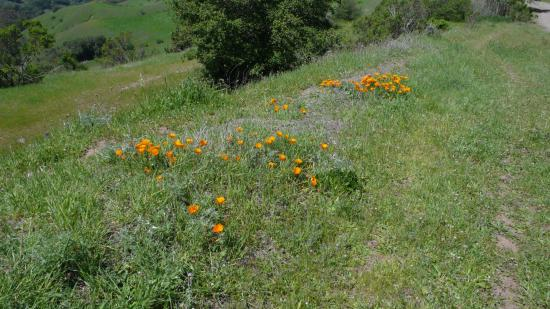 Oakland, CA: Hillside at Sibley with spring California Poppies
