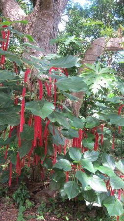 Frederiksted, St. Croix: Pretty Bush