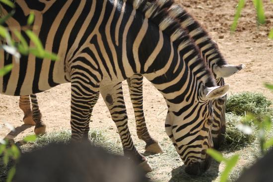 Litchfield Park, AZ: Zebras