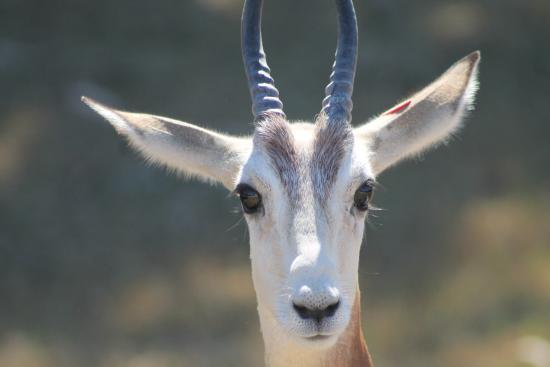 Litchfield Park, AZ: Gazelle