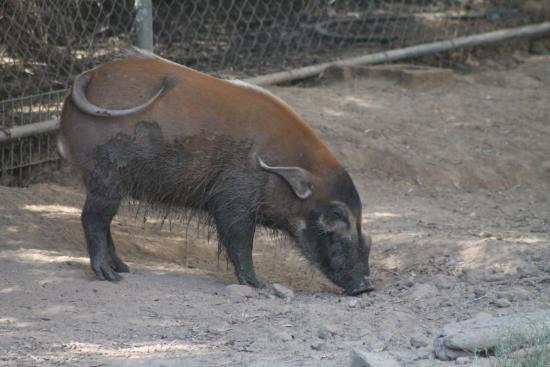 Litchfield Park, AZ: Red River Pig