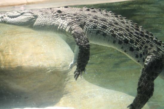 Litchfield Park, AZ: Alligator