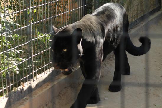 Litchfield Park, AZ: Black Leopard