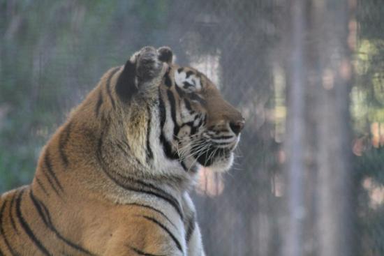 Litchfield Park, AZ: Tiger
