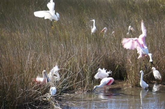 Merritt Island, FL: spoonbills, herons and ergets