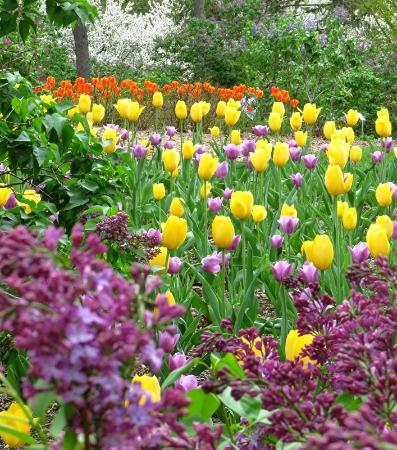 Lombard, IL: One of many extensive tulip plantings in Lilacia Park
