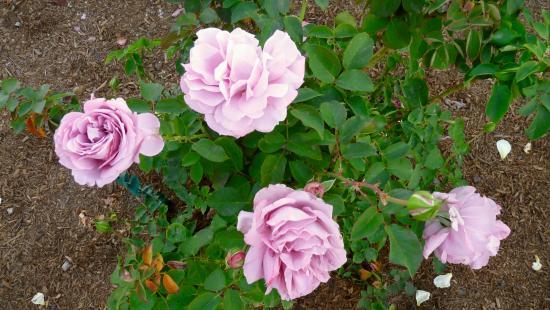 Sahuaro Ranch Rose Garden Picture Of