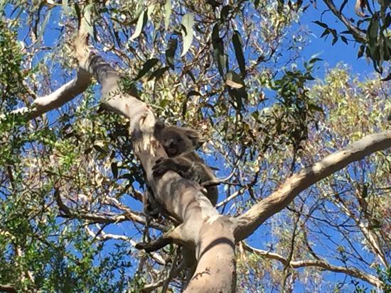 Cowes, Austrália: Koala's galore