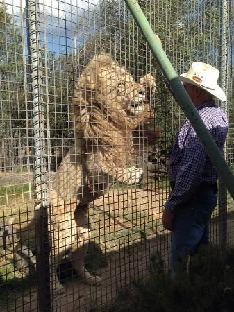Mansfield, Australien: Feeding time for the lions is great to see