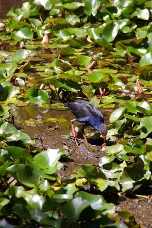Emerald, Australia: Birdlife in the marshes
