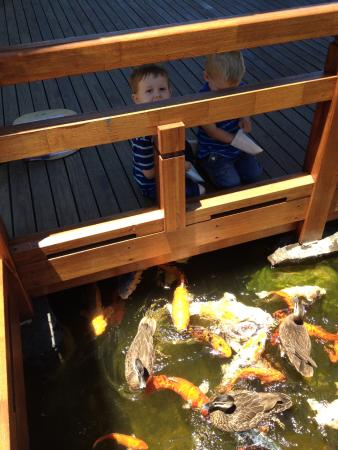 Gosford, Australia: Feeding the Koi in the Japanese Gardens (Edogawa Gardens)