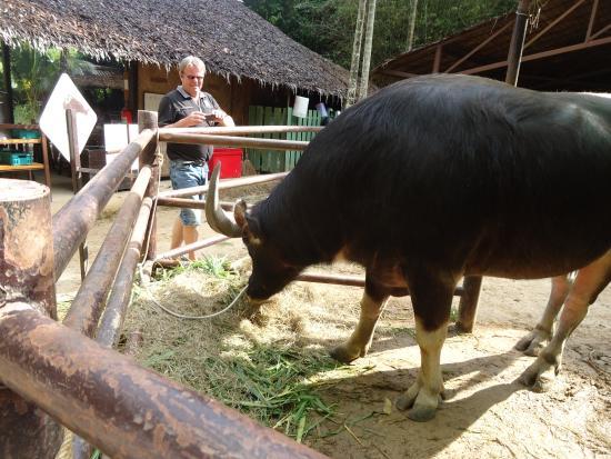 Chalong, Tajlandia: The buffalo