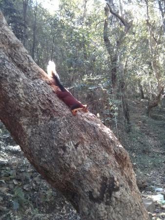 Japali Teertham : Malabar Squirrel