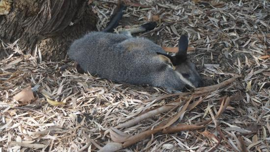South Perth, Αυστραλία: one of Australia's wallaby's