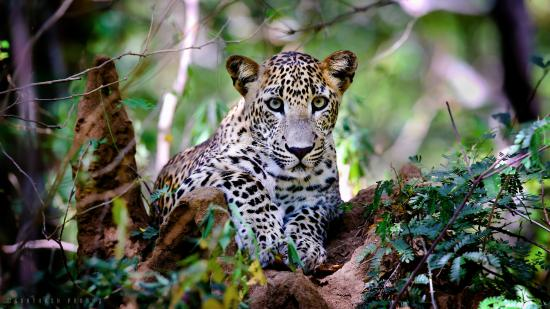 Hambantota, Sri Lanka : Leopard at Kumana