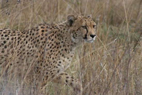 Ladysmith, South Africa: The Cheetah