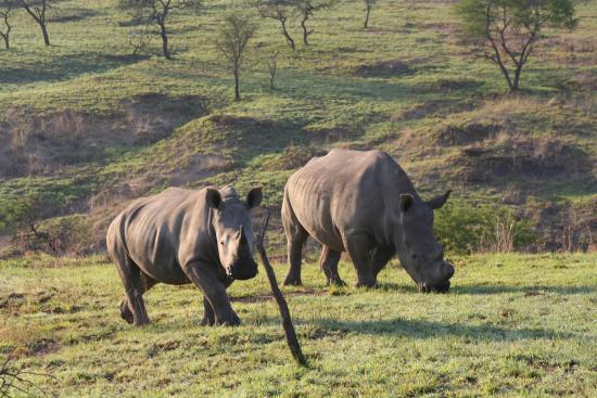 Ladysmith, South Africa: Rhino