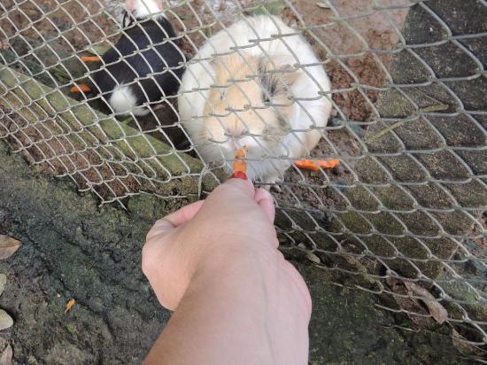 Pirai: Alimentando os porquinhos da india e coelhos