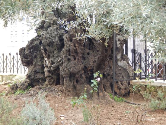 20160117 094738 picture of garden of for Age olive trees garden gethsemane
