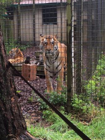 Dunstable, UK: Tigers