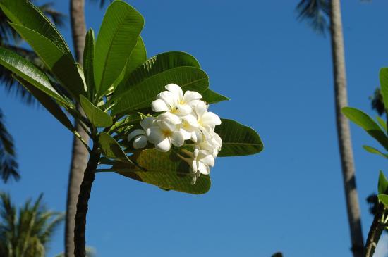 Eden Bungalow Resort : fleur de frangipanier