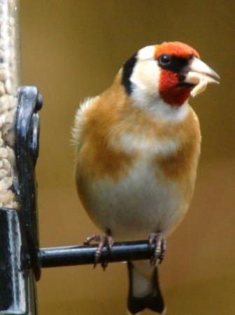 Silverdale, UK: Goldfinch