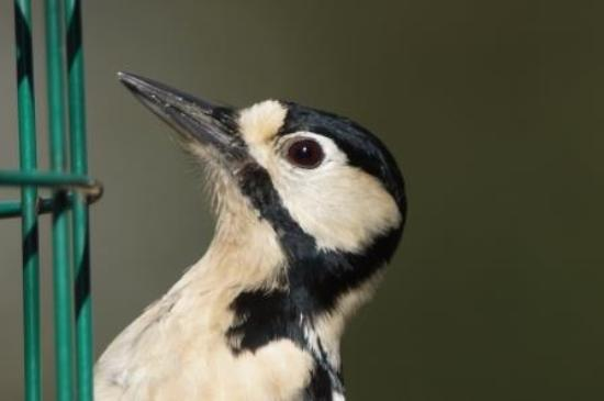 Silverdale, UK: Lesser spotted woodpecker