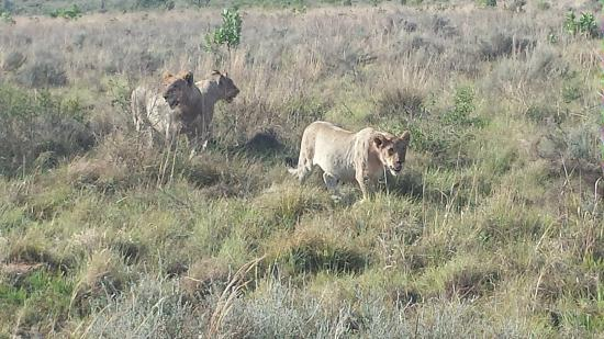 Mhondoro Game Lodge: Lion Cubs 11 months ish