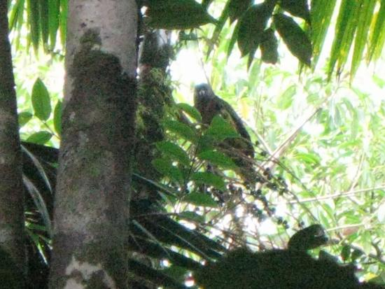 Gros Islet, St. Lucia: St. Lucian parrot! (Des Cartiers trail, central forest reserve)