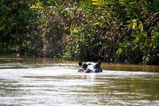 hippo picture of reserve naturelle de gorilles de lesio louna rh tripadvisor com