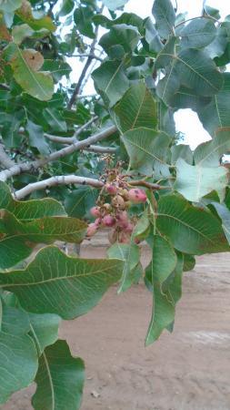 Mesilla, NM: Pistachios on the trees