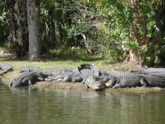 Palmdale, FL: Gator sunning themselves