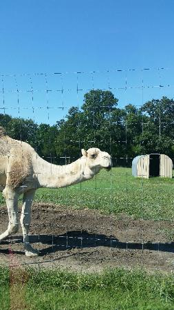 Eagle Rock, MO: Smiling Camel!