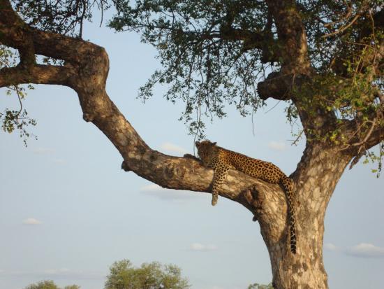 Timbavati Private Nature Reserve, جنوب أفريقيا: leopard watching us