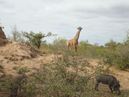 Timbavati Private Nature Reserve, Sudáfrica: giraffe and warthog