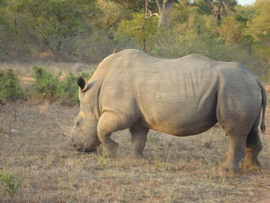 Timbavati Private Nature Reserve, Sudáfrica: rhino crossing our path