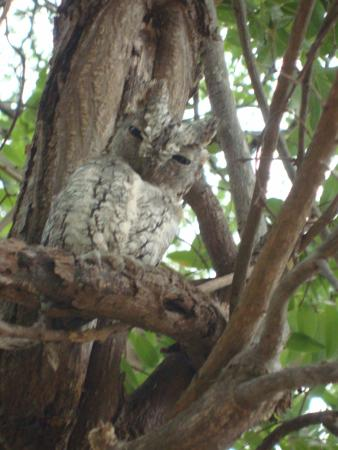 Timbavati Private Nature Reserve, Sudáfrica: this little owl was watching over us