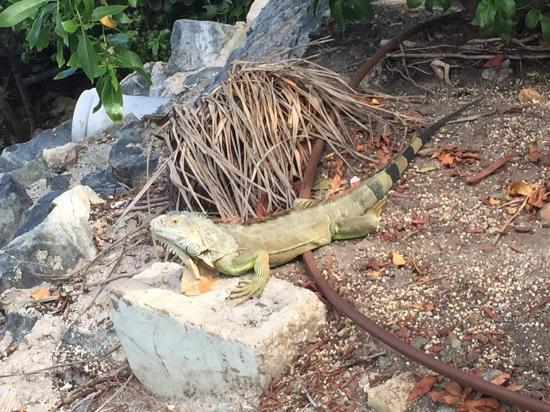 Oyster Pond, St Marteen/St. Martin : Iguana walking around the marina and on the beaches