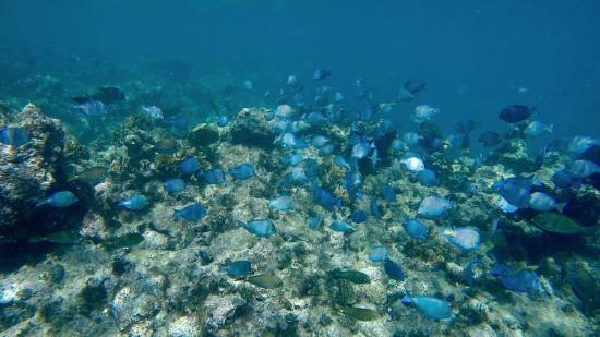 Oyster Pond, St Marteen/St. Martin : Beautiful blue fish